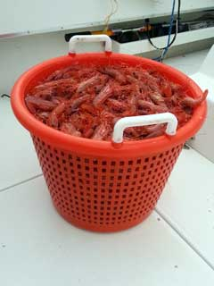 Nice pile of shrimp with Oasis Alaska Charters