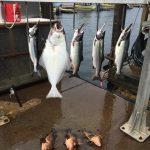 halibut-fishing-in-ketchikan-alaska-july-31-2016-oasis-alaska-charters-1